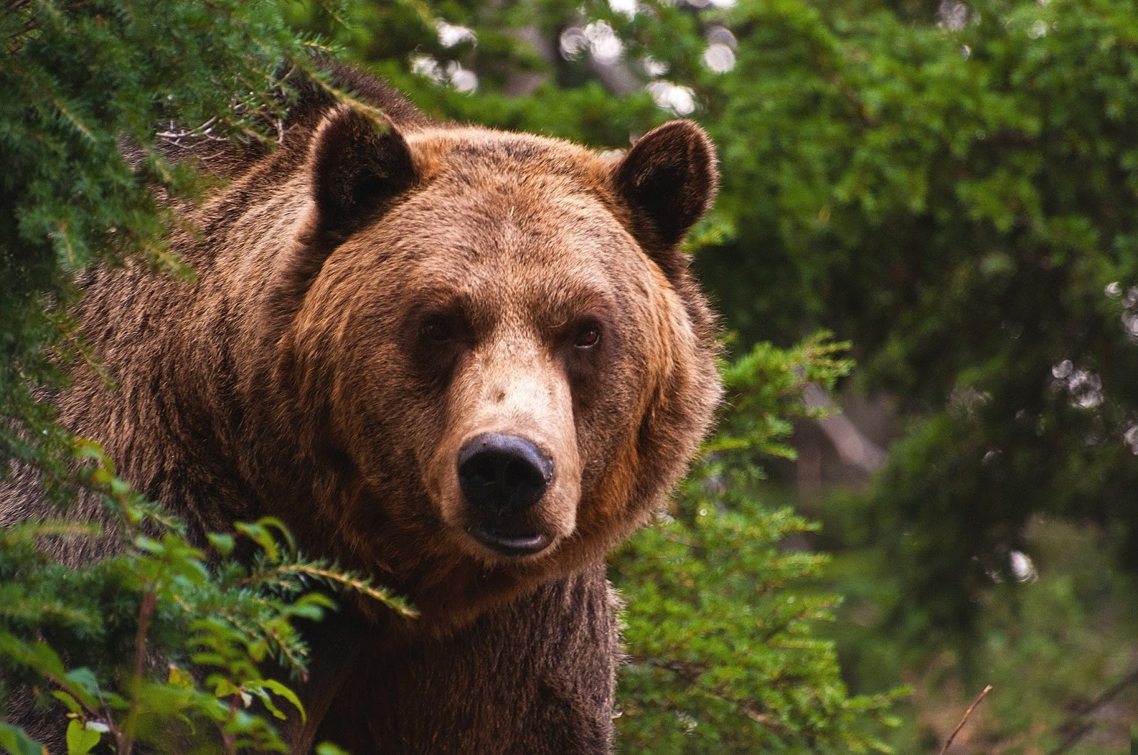 grizzly bear wild life animal