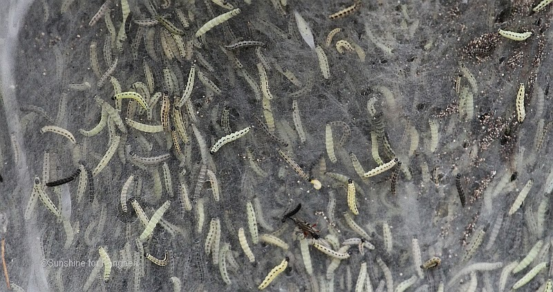 ermine moth caterpillars