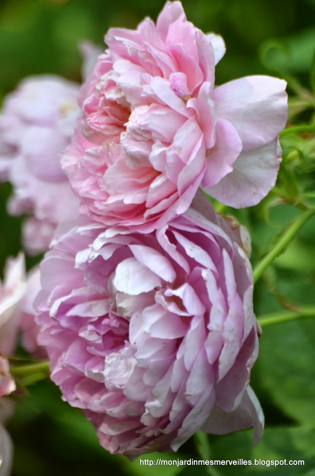 Mon jardin mes merveilles trois jours avec un bel anglais for Alexandre jardin mes trois zebres