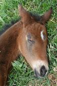 Zanny's last foal