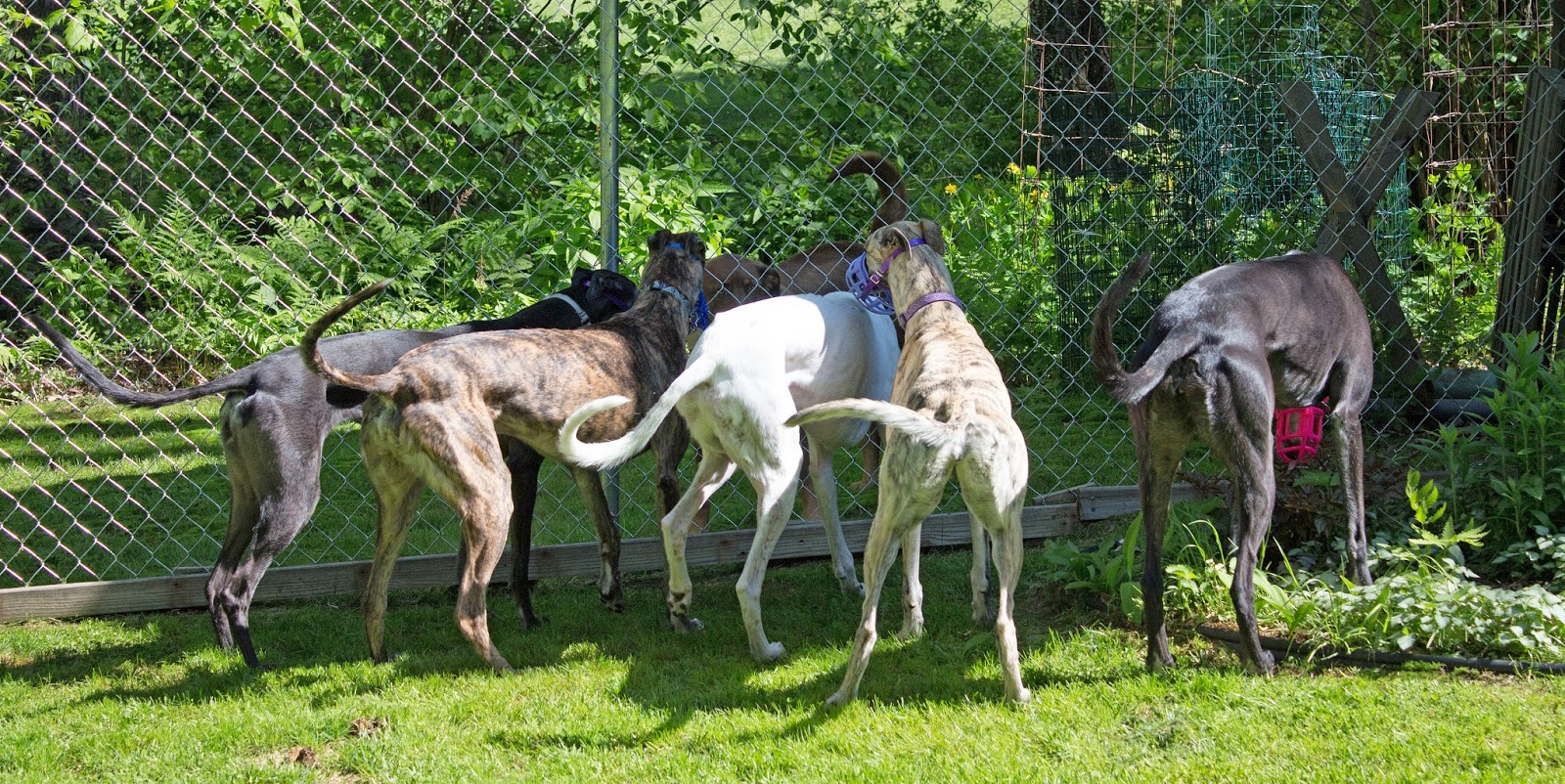 The greyhound gang