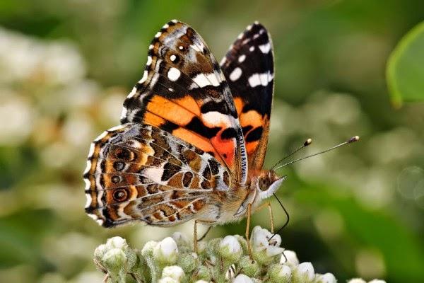 Hình ảnh bướm đẹp