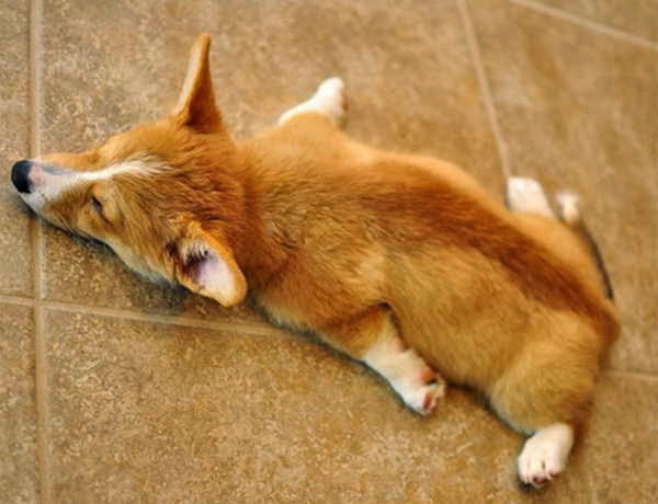 adorable dog pictures, cute corgi puppy sleeping