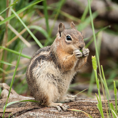 Golden-mantled Ground Squirrel, Rocky Mountain National Park