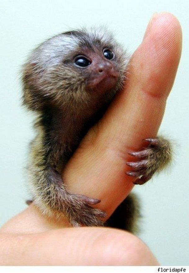 Smallest Monkey In World - Smallest Monkey In The World