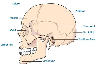 Bones held together by cartilage are known as