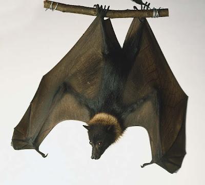 gran zorro volador Pteropus vampyrus