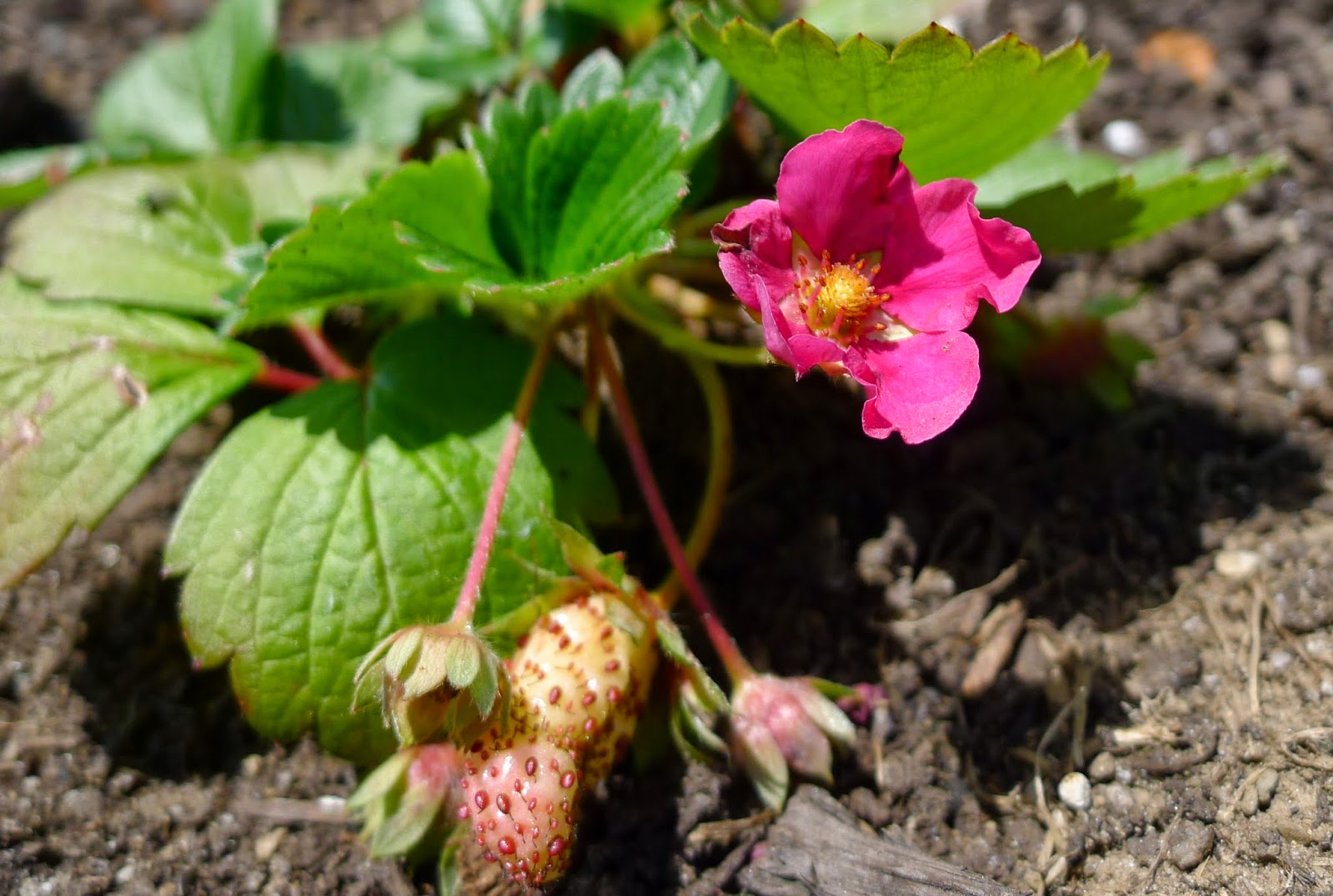 Fragoo strawberry, Deep Rose, edible landscaping