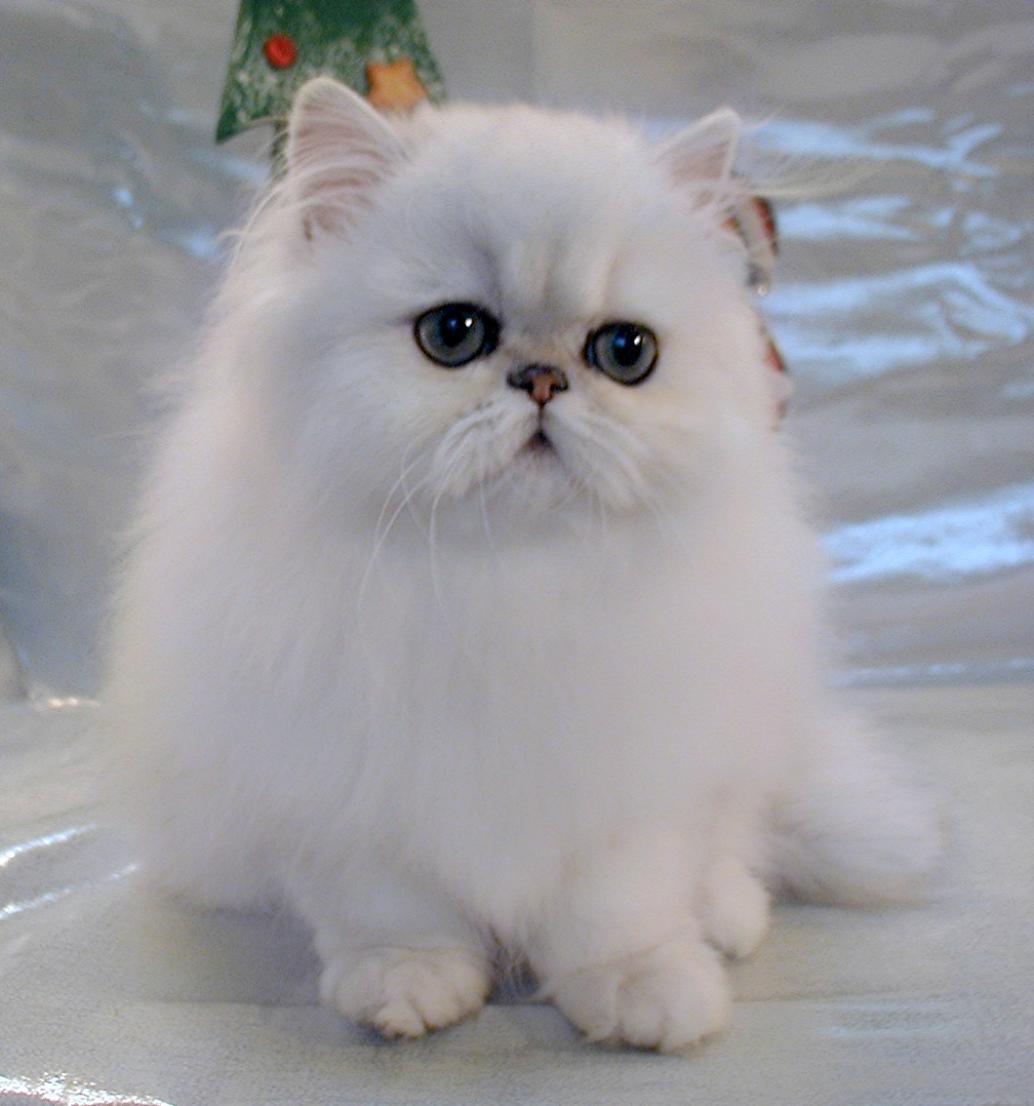 cute persian cat kitten