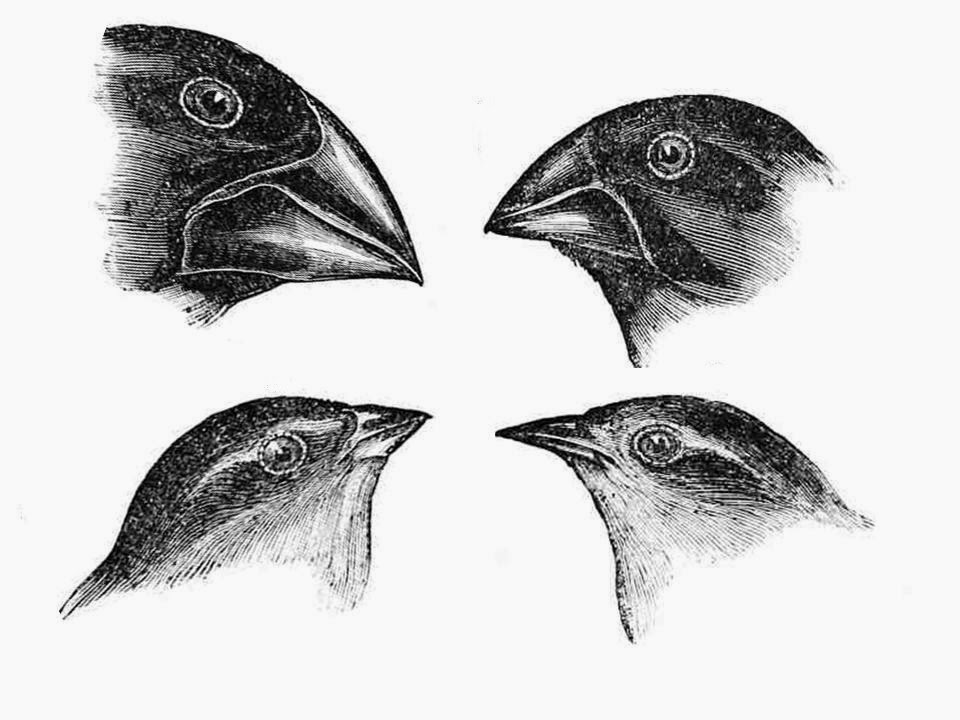 evolution of the finch on darwin This magnificent book is about the most successful field study on evolution ever conducted—the darwin finch project on  40 years of evolution is one for the.