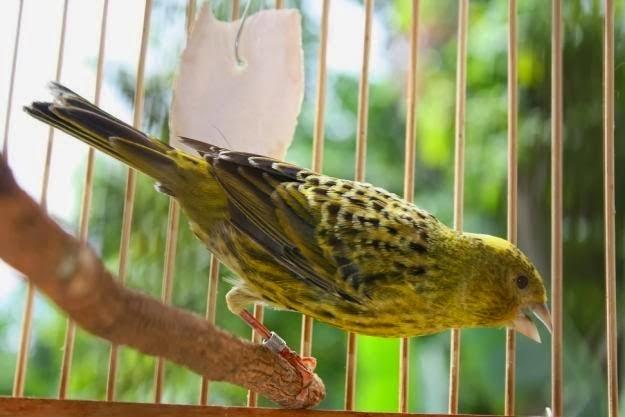 Foto Burung Kenari Lokal Jantan