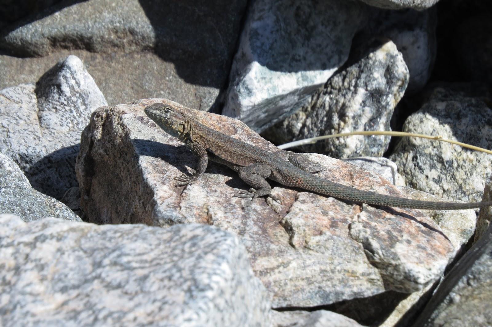 Joshua Tree National Park lizard