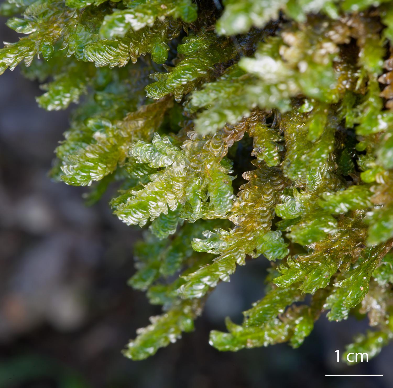 Musgo de la familia Neckeraceae orden hypnales