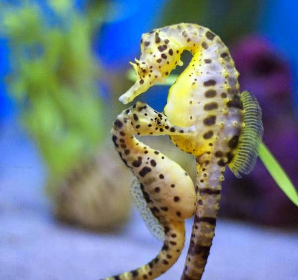 Here Are 24 Awesome Things You Didn't Know About Animals. #11 Just Made My Week. - Seahorses are monogamous life mates and travel in pairs, holdin each other's tails