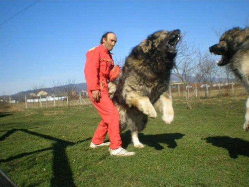 كلب اوفاشاركا القوقازي