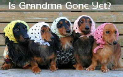 "Doxies with crocheted scarves asking ""Is Grandma Gone Yet?"""