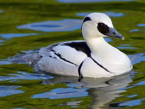 Indian birds - Smew - Mergellus albellus