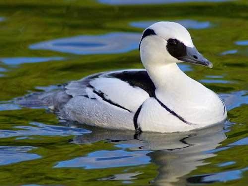 Indian birds - Smew - Mergellus albellus