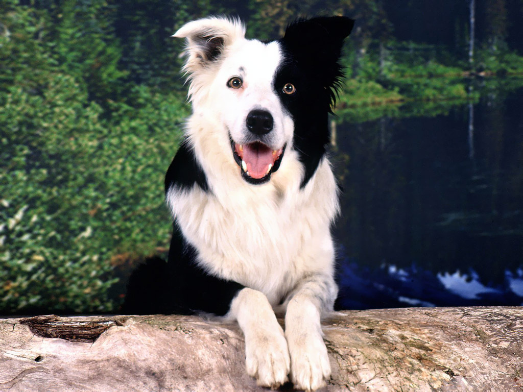 http://4.bp.blogspot.com/-3ZBS2BF93ds/TX0Y2M6s_QI/AAAAAAAAZPc/0numNscBf4M/s1600/Border-Collie-Wallpaper-dogs-5313780-1024-768.jpg