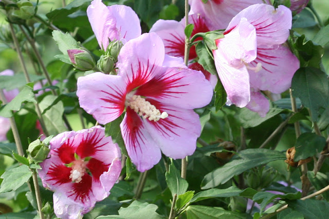 Orchid Satin rose of Sharon from Proven Winners