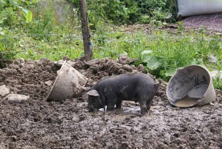 Ladybird, Sheep and Muddy Piglets