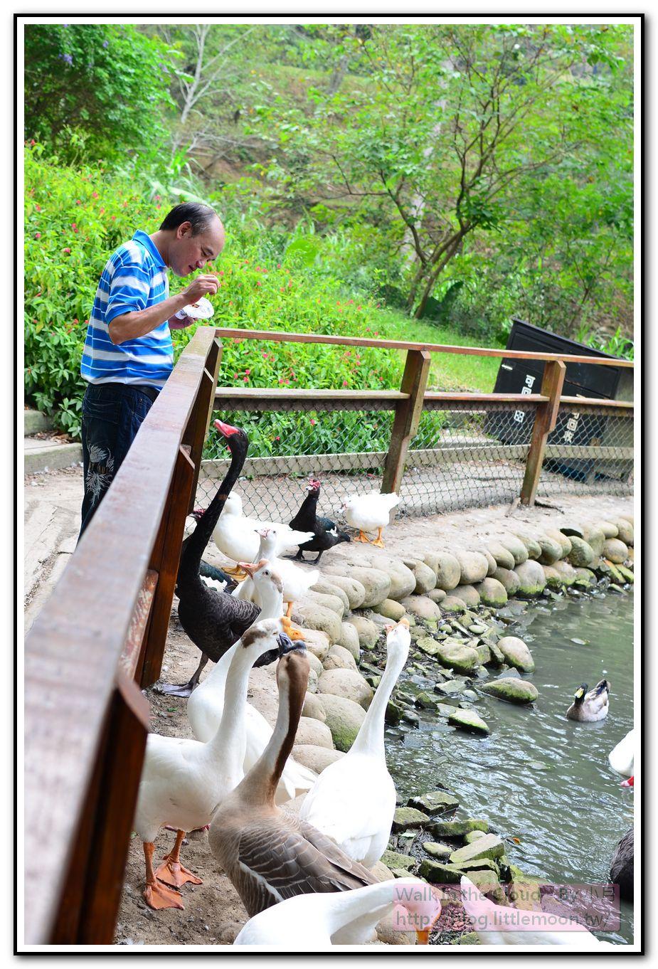 餵鵝的叔叔與一大群鵝