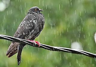 Perawatan Burung Kicauan di Musim Hujan