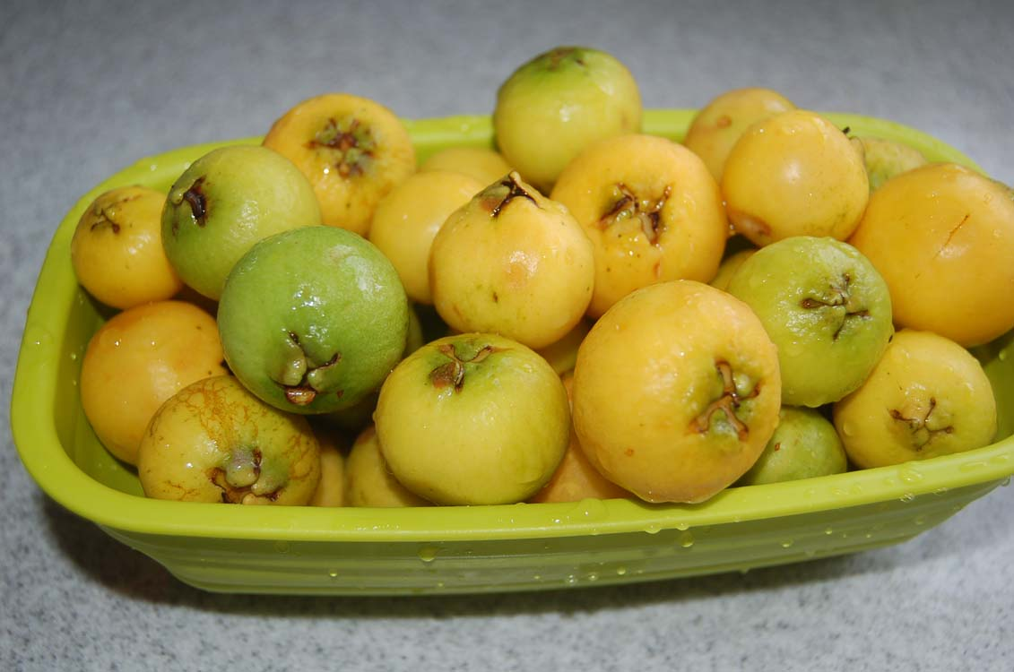Planning To Introduce Some Insect Or Virus To Kill Off Guava Plants As  Similiar Guava Species