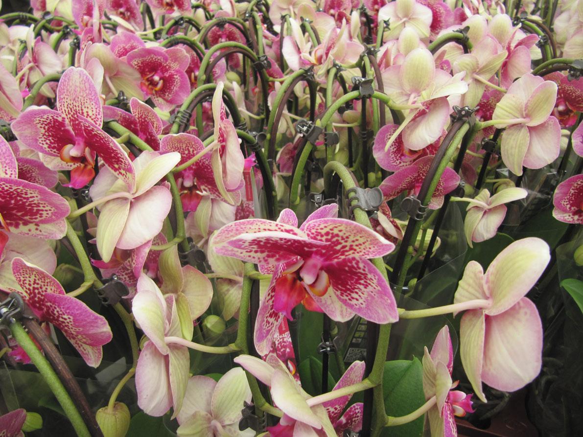 paradis express: Floralux, Dadizele, Belgium