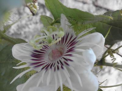 http://www.fotodoku.co.vu/2015/07/memotret-bunga-ciplukan.html