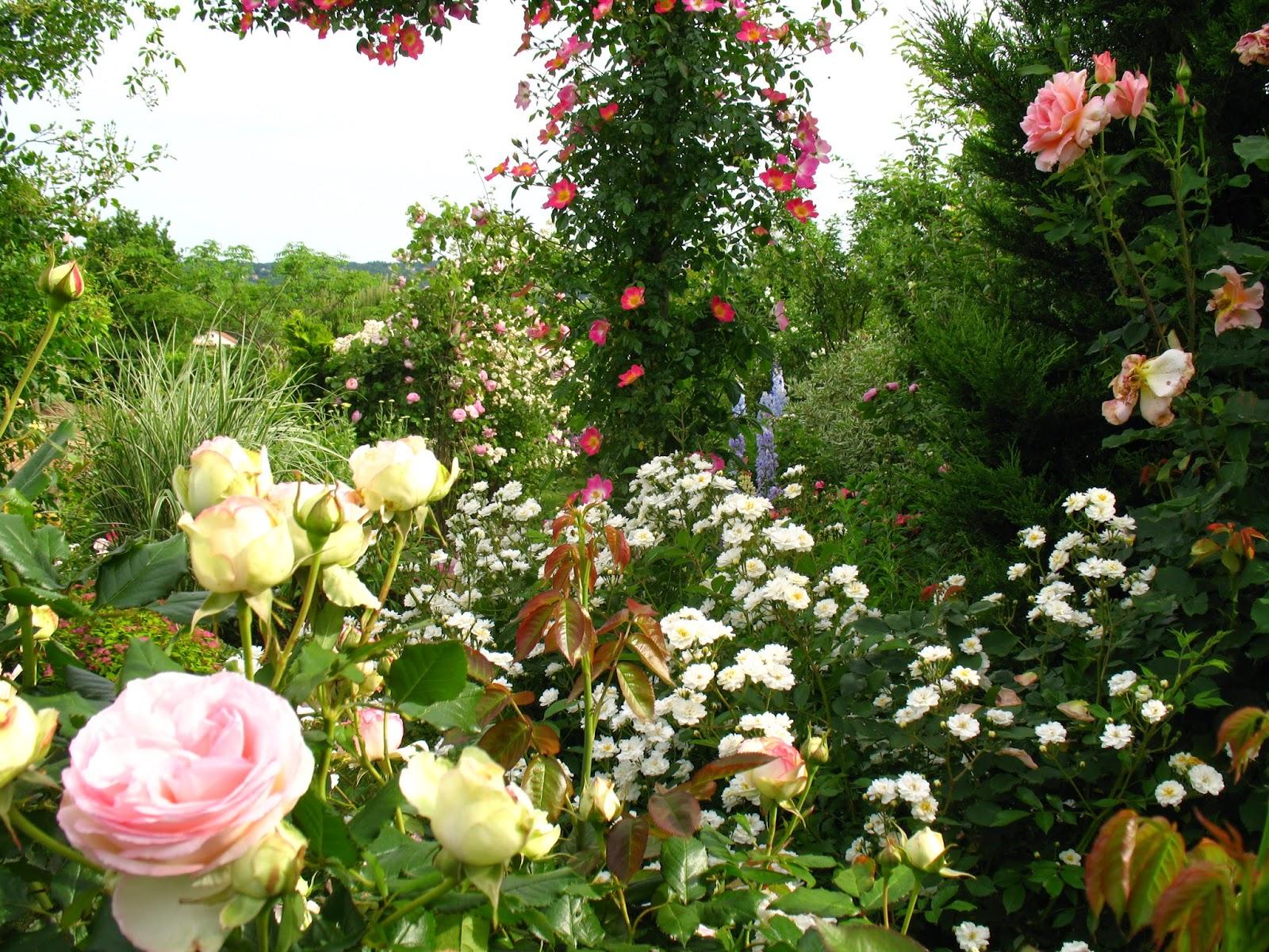 roses du jardin ch neland rosiers grimpants s duisants. Black Bedroom Furniture Sets. Home Design Ideas