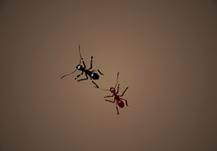 Arena de Hormigas
