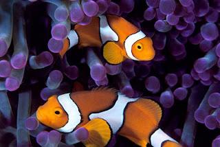 La anemona son los puntos violetas que están alrededor de los peces payasos, los cuales viven en ellas