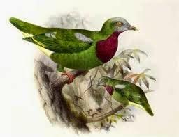 Tilopo pechirrojo, Ptilinopus viridis
