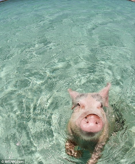 THE CUTE SWIMMING PIGS OF THE BAHAMAS