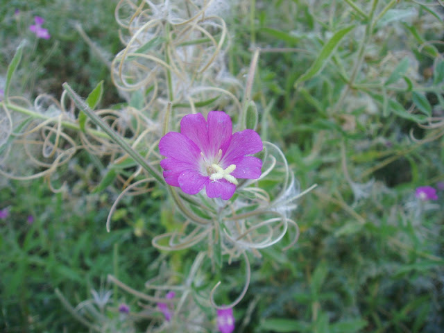 Flor de LA HIERBA DE SAN ANTONIO: Epilobium hirsutum