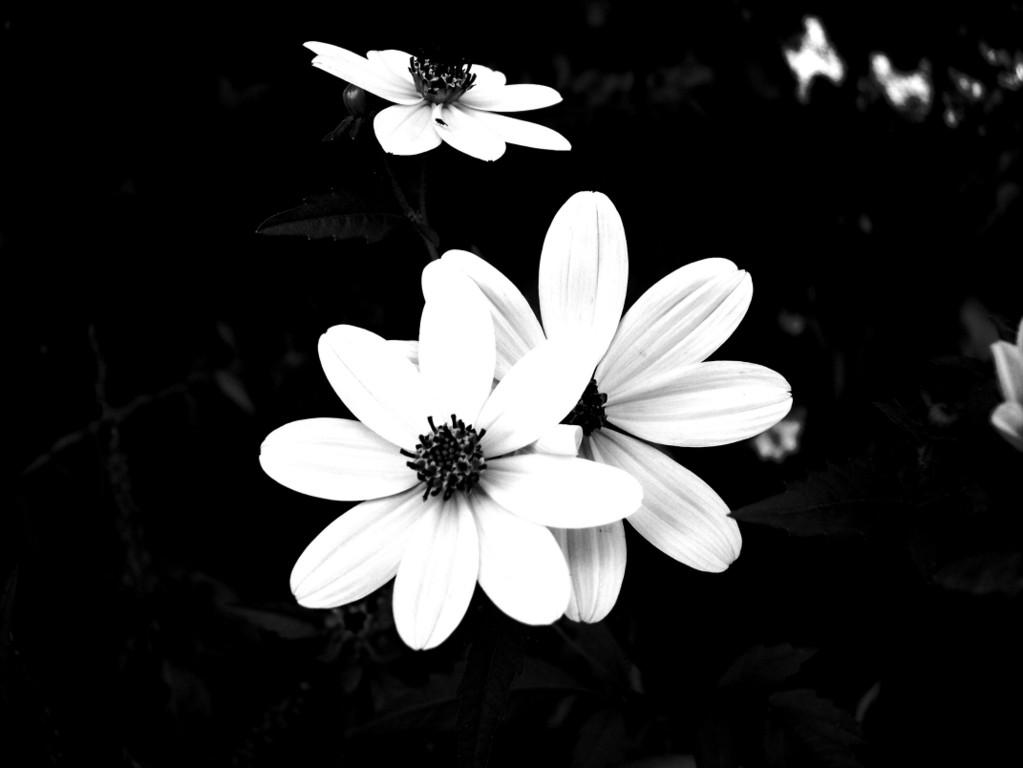 haltungbewahren black and white flower wallpaper