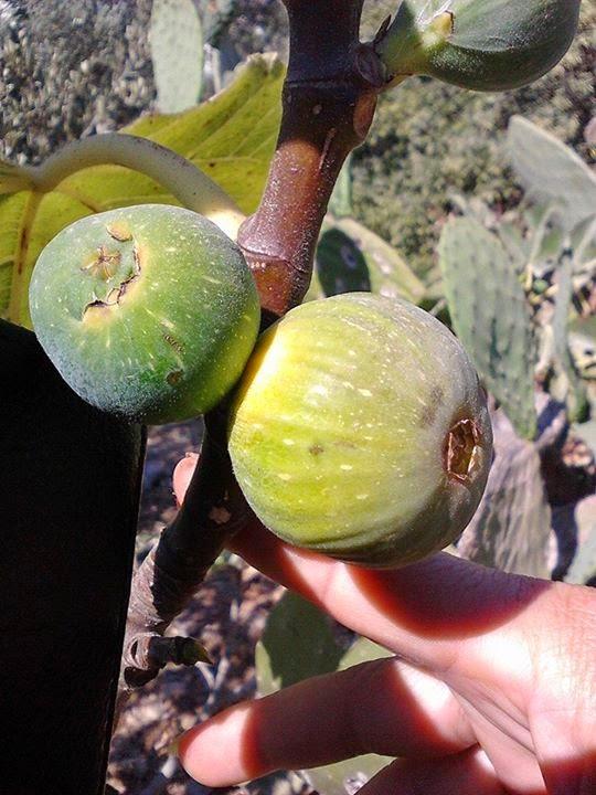figs carbs