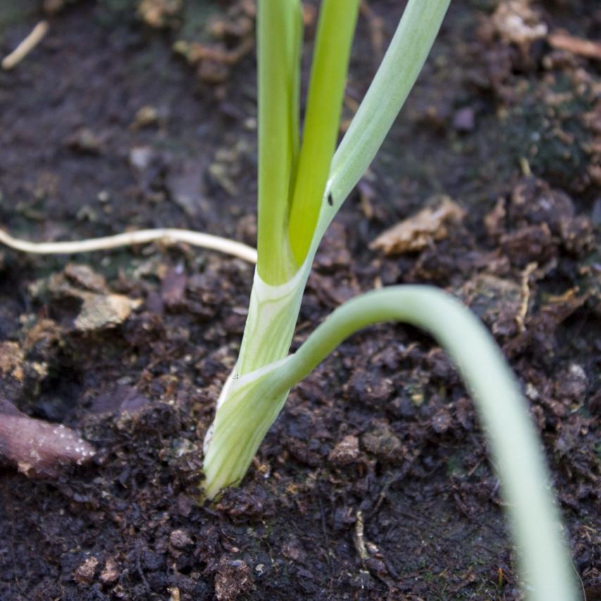 Cuello de la cebolla en el huerto