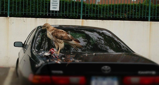 hawk eating pigeon on a car