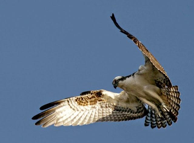 Vulturul pescar