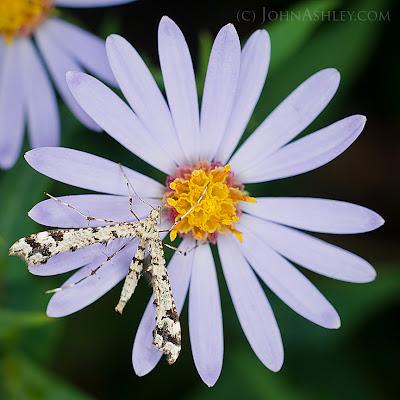 Geranium Plume Moth (Amblyptilia pica)
