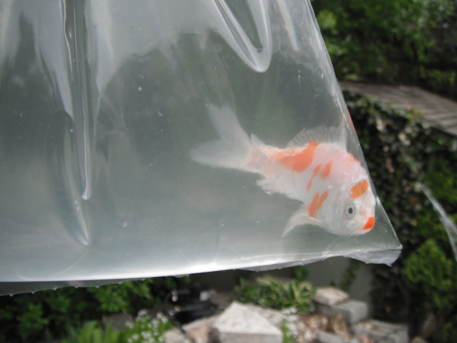 P art y new additions cats frogs and koi fish for Koi fish family