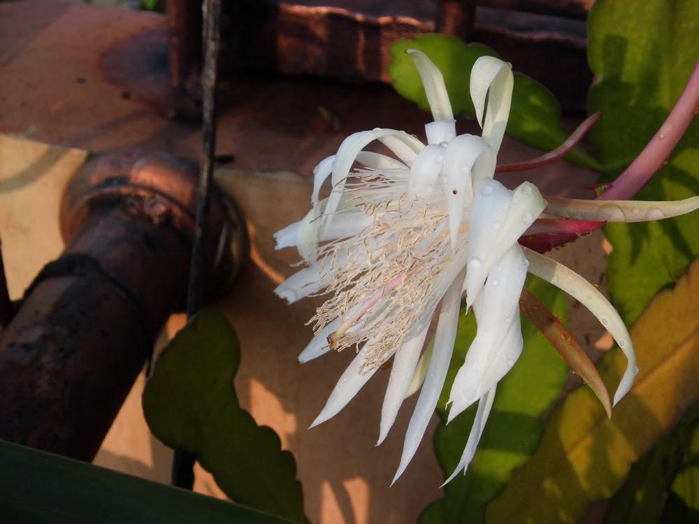 Khasiat dan Manfaat Tanaman Bunga Wijayakusuma