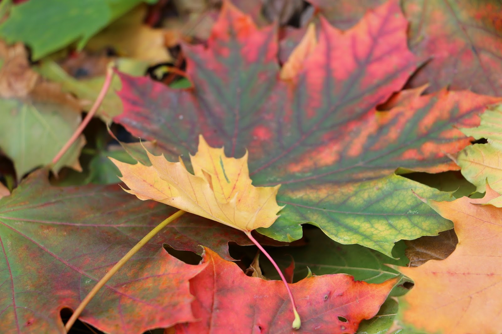 Colorful leaves of Canada-4 Photo: Shahrzad Ghaffari MVM, 23 oct.2014