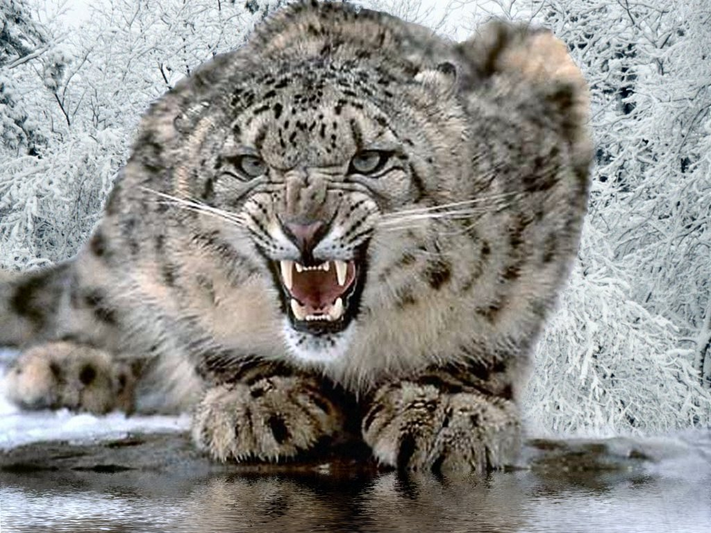 largest wild cat - photo #16