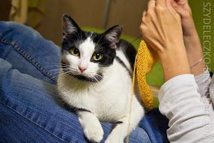 """lenka - nasza """"gadająca"""" dwulatka  z Fundacji Koci Pazur. Najbardziej pokojowy kot na świecie."""