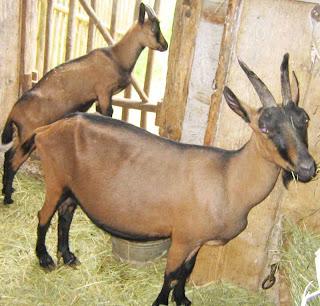 Aujourd'hui, on va commencer par la traite des chèvres