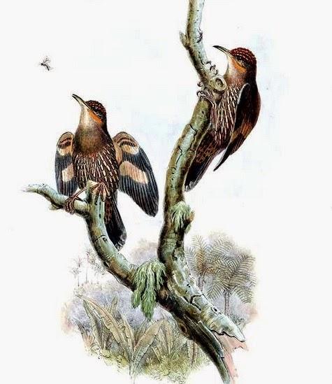 Burung kicau Munguk papua,suara kicau burung,gambar burung kicau