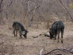Porcos mateiros na caatinga
